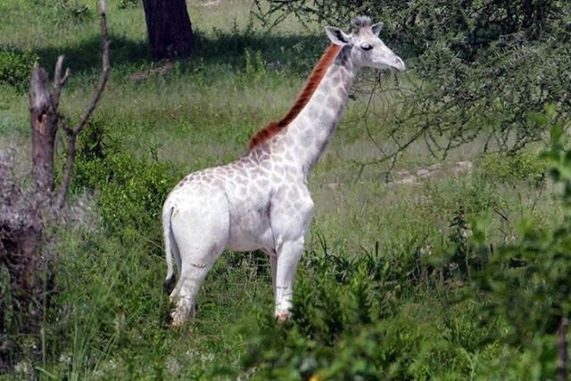 white_giraffe_01